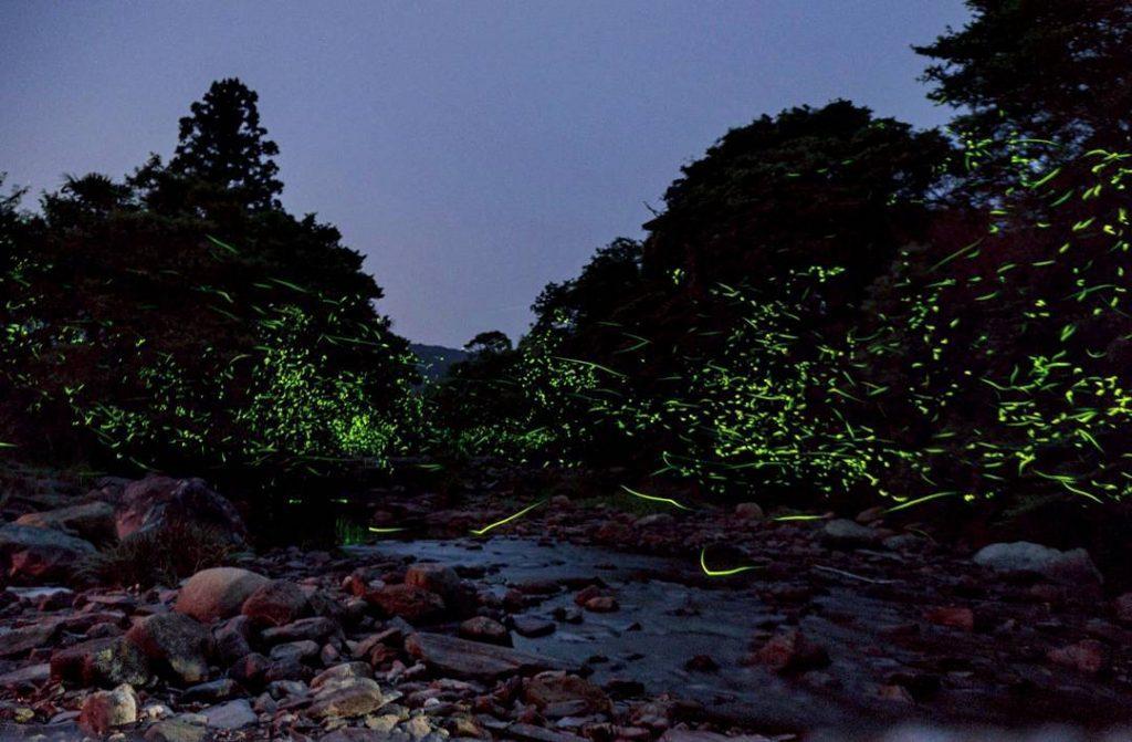 Tsushima Fireflies