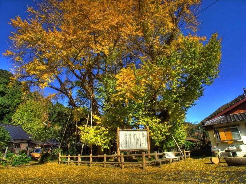 Ginkgo Tree of Kin Tsushima