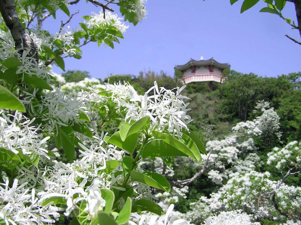 Hitotsubatago Chionanthus retusus flowers
