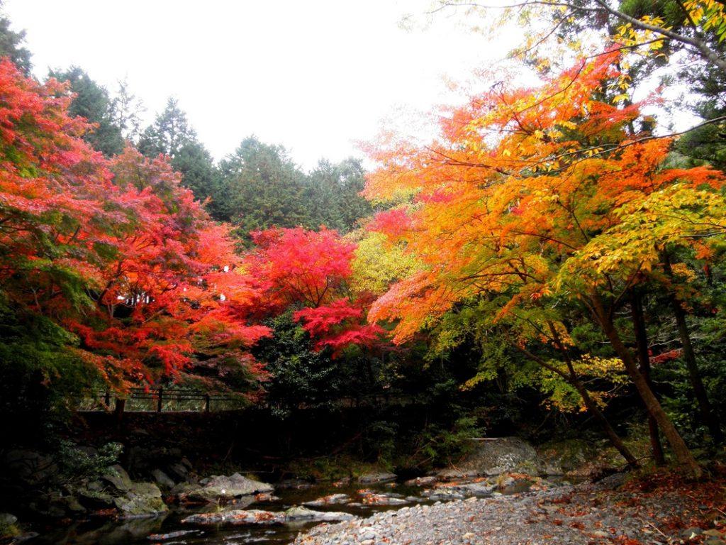 Fall Color Leaves Tsushima